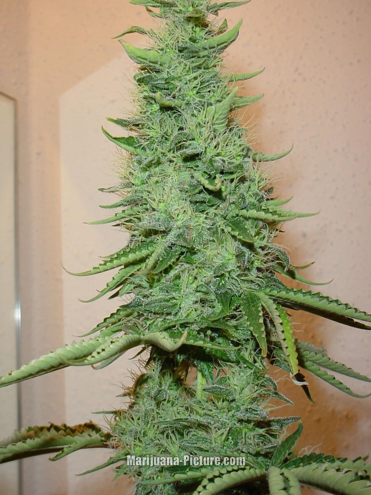 [Image: big_bud_marijuana.jpg]