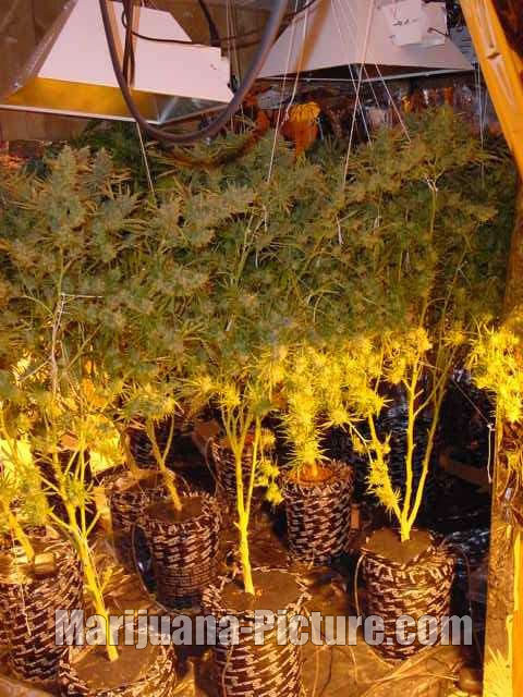 growing marijuana indoors / howtogrowmarijuana.jpg