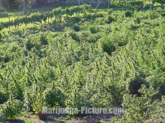 Growing marijuana outdoors commercial cannabis for Cannabis exterieur