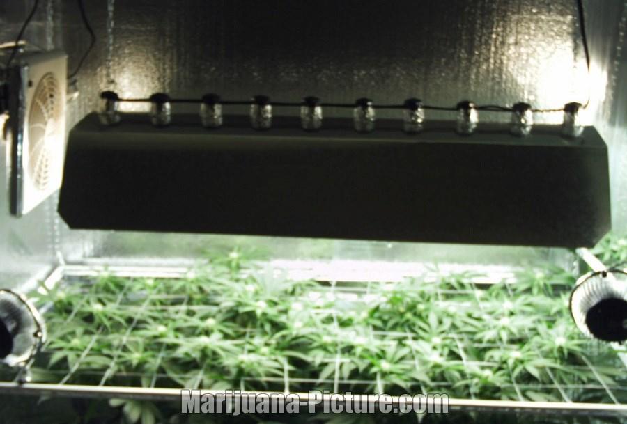 lights / large_cfl_marijuana_grow.jpg