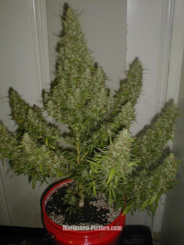 marijuana plant picture / ready_to_harvest.jpg